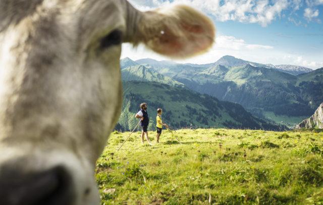 Kuh auf der Bärguntalpe © Dietmar Denger / Vorarlberg Tourismus
